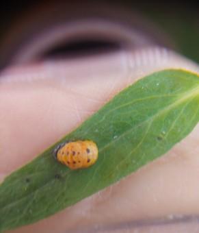 무당벌레 애벌레